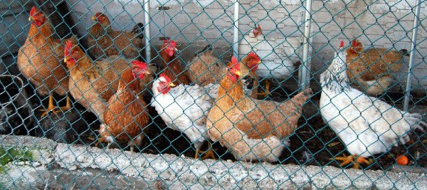 השולחן העגול של צהר בנושא<br>צער בעלי חיים בתעשיית המזון