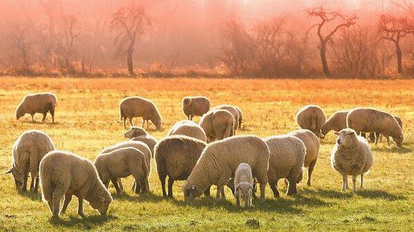 כיצד ייתכן שתעשיית הבשר מקבלת חותמת כשרות למרות שיש שם צער בעלי חיים?